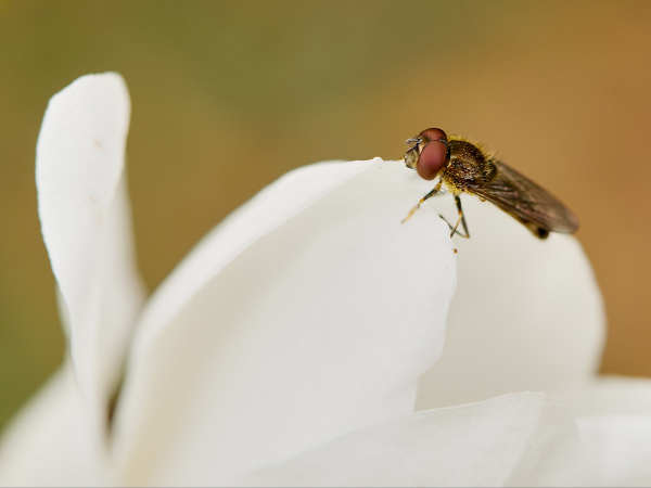 Hoverfly and Magnolia