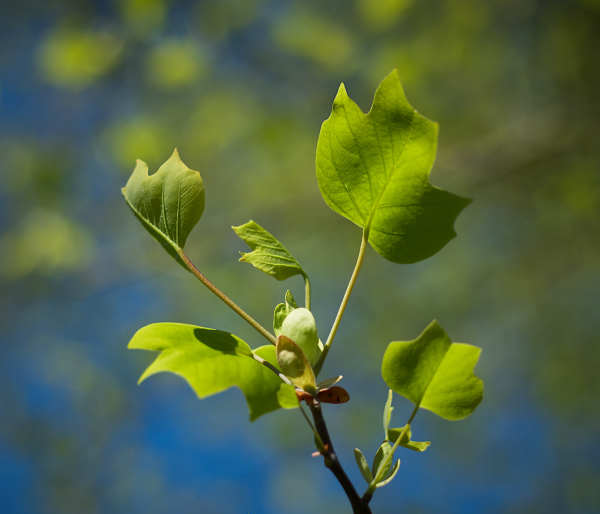 Tulip Tree New Leaves