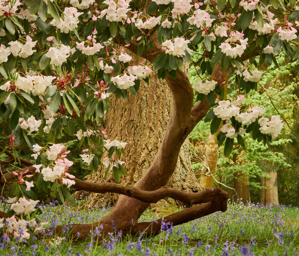 Tree Yoga - the Rhododendron