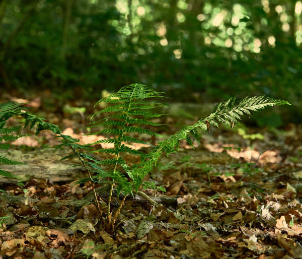 summer bracken beech woods