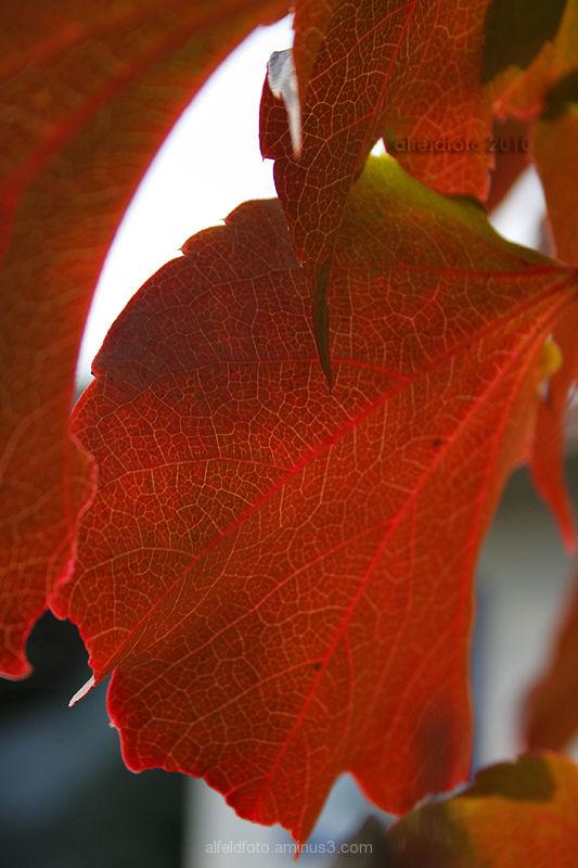 Herbstliches Weinblatt im Leinebergland