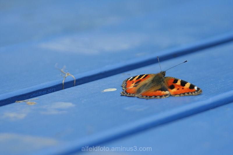Schmetterling im Leinebergland