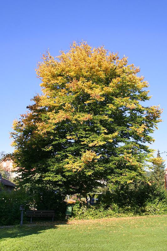 Herbstlicher Baum in Brunkensen