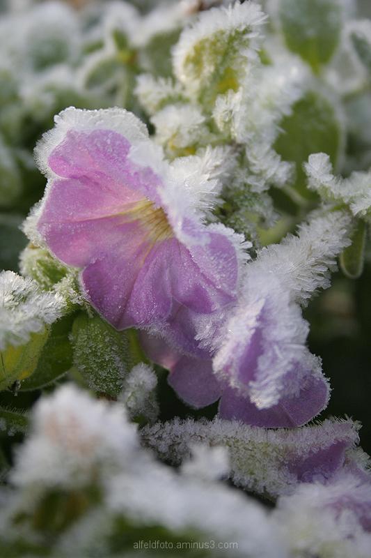 Winterblume im Leinebergland