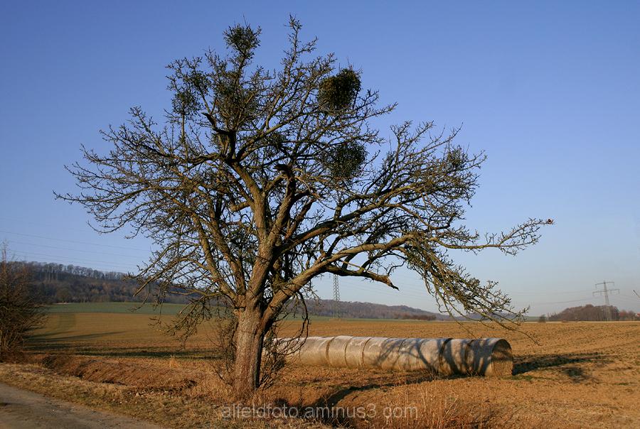 Apfelbaum im Leinebergland