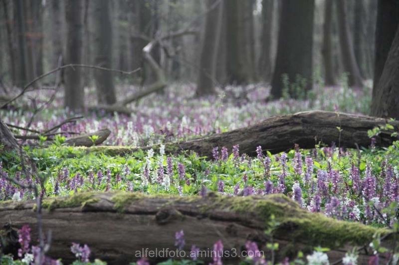 Lerchensporn im Naturschutzgebiet