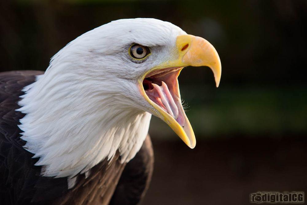 POTW13 #01 - Bald Eagle