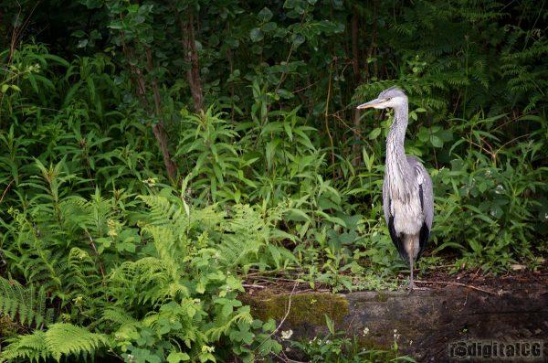 POTW13#24 - Grey Heron