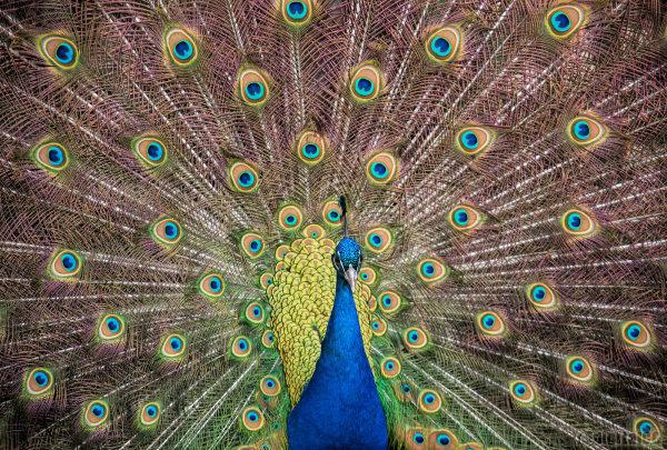 Peacock Power II