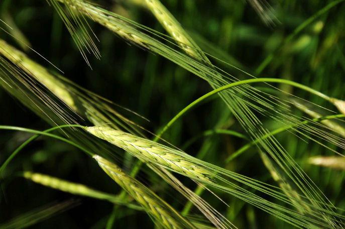 Pālangān to Orāmān: Wheat