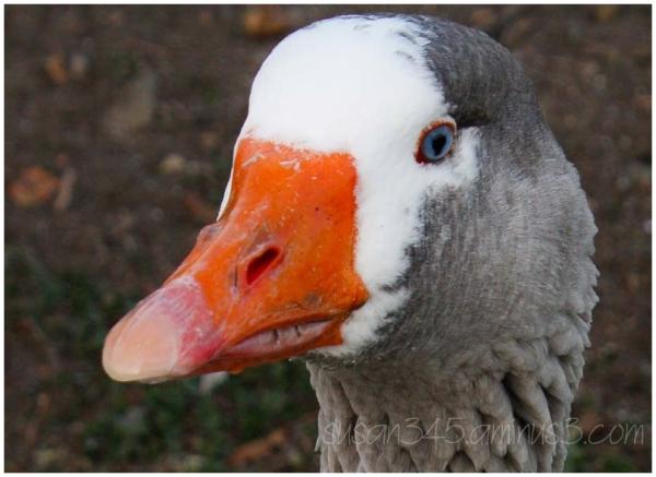 Regal Goose