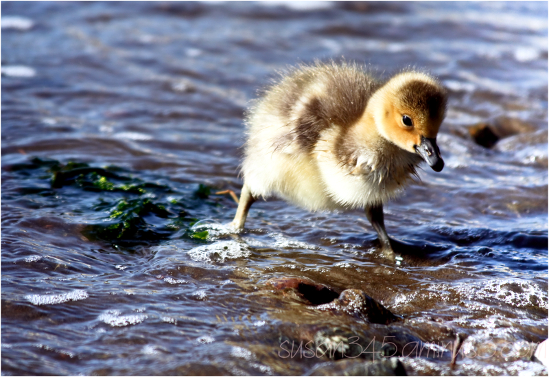 Gosling baby at the bay's edge