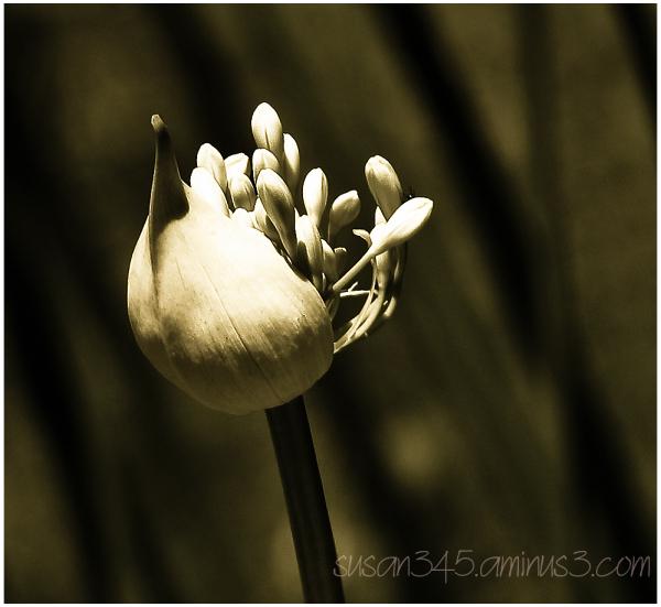 Slender Sheathed Flower