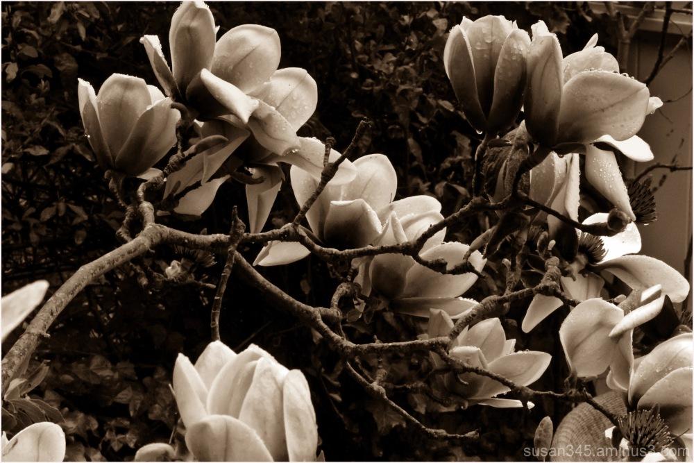Magnolia Miracle