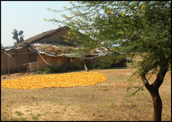Portrait of rural India Corn drying in courtyard