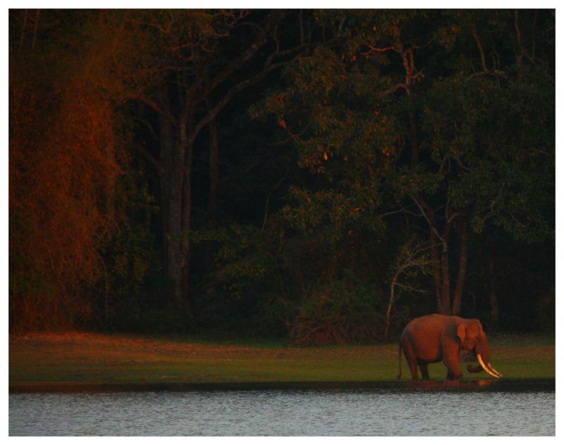 Wild elephant tusker at sunset at Nagarole NP