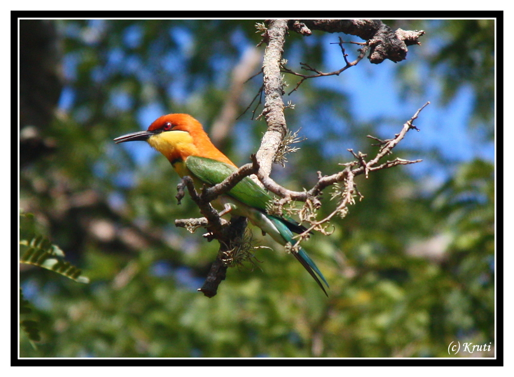Chestnut Headed Bee Eater at Yala NP, Sri Lanka