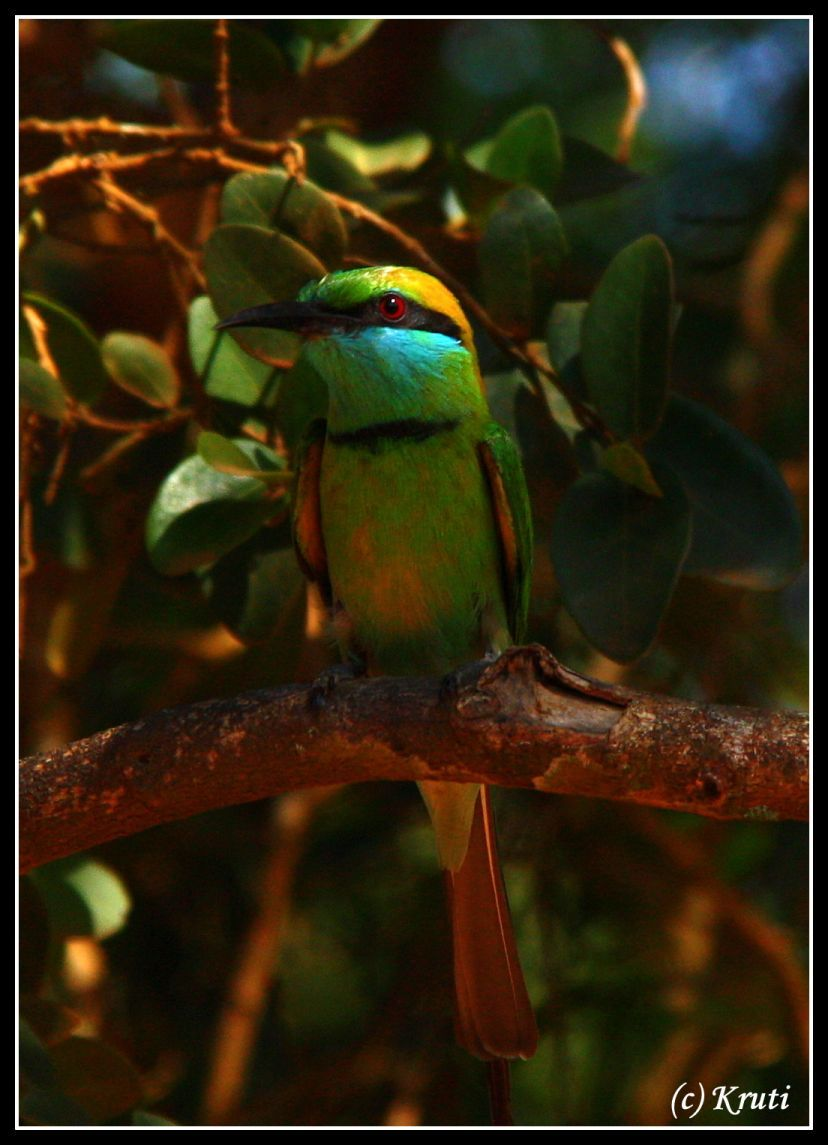 Green Bee Eater, Yala National Park, Sri Lanka