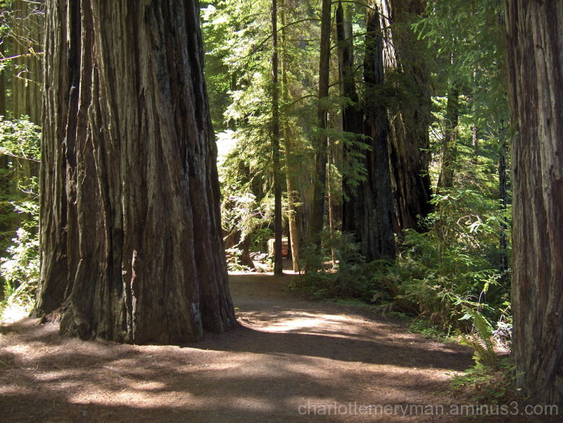 Landscape with giant redwoods, northern California