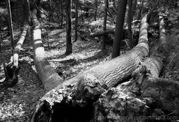 four fallen trees in the massachusetts woods b-w