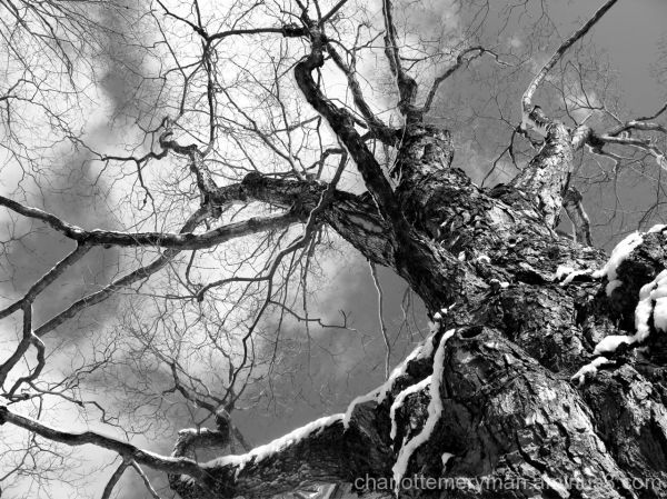 ancient maple tree bare branches snow b-w