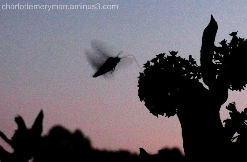 Sphinx moth feeding on milkweed blossoms