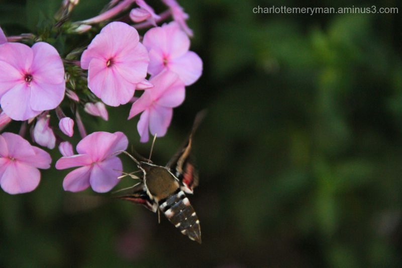 Sphynx moth on phlox