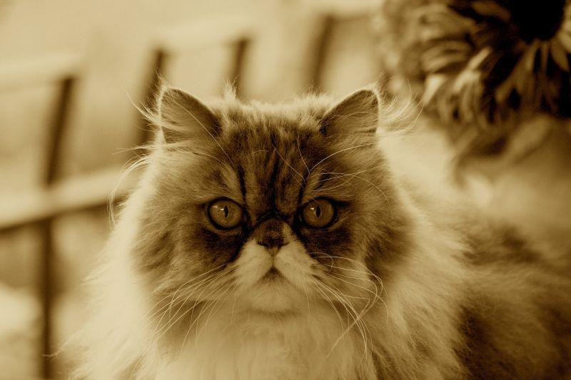 The king of persian cats