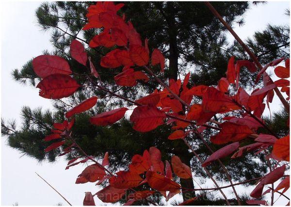 feuillages d'automne, rouge et vert