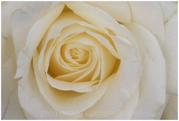 coeur de rose crème