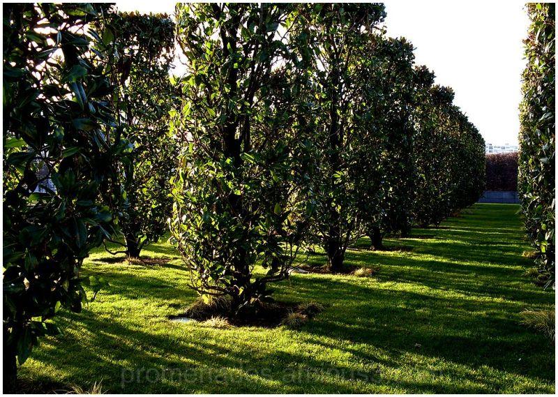des allées de magnolias en ombre et lumière