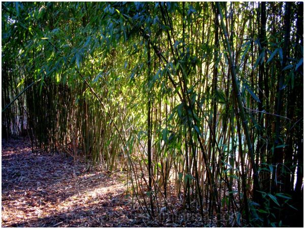 une petite plantation de bambous