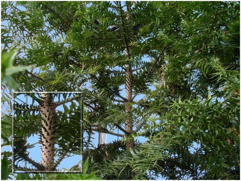 arbre épineux dans la serre australienne