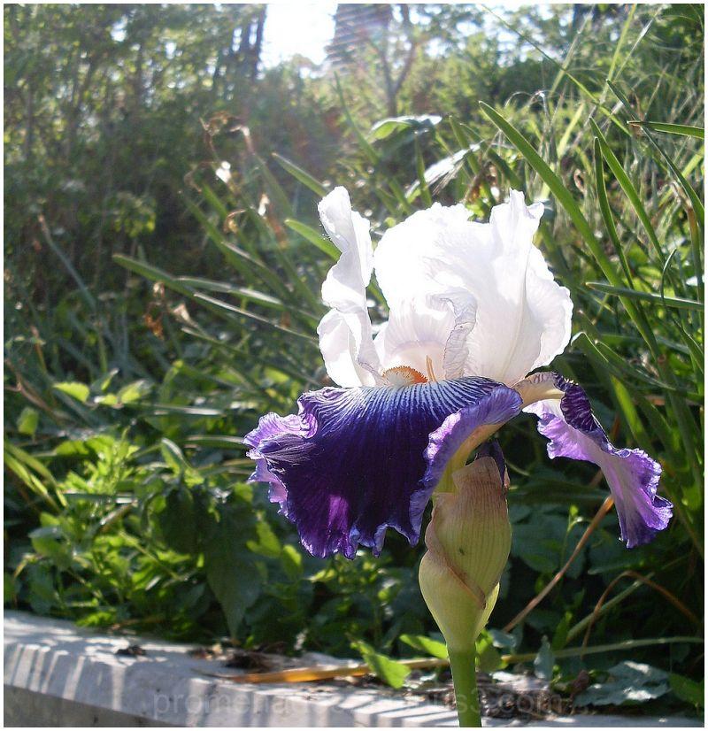 iris violet dans la lumière