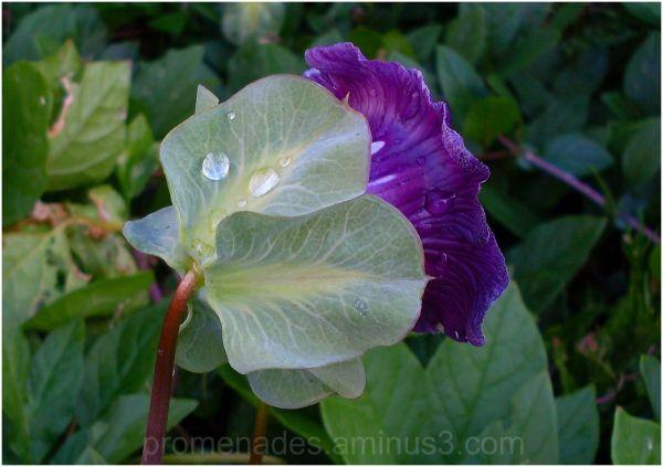 gouttes de pluie sur une fleur