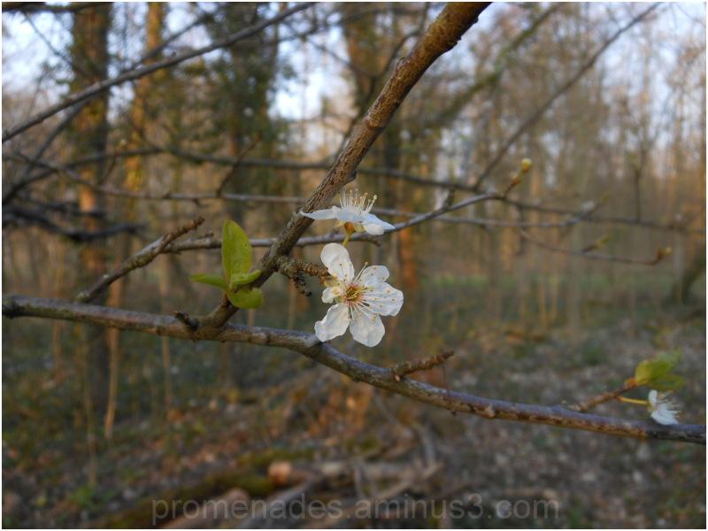 blosssom at the beginning of spring in Paris