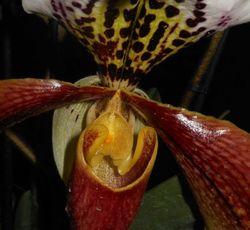coeur d'orchidee