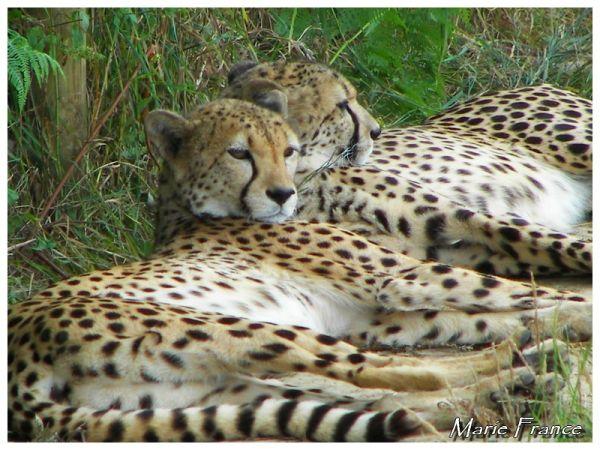 La sieste des Guépards