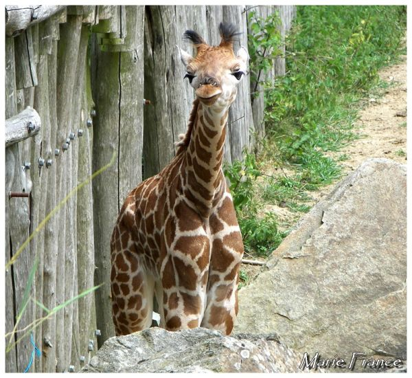 Jeune Girafe âgée d'une semaine