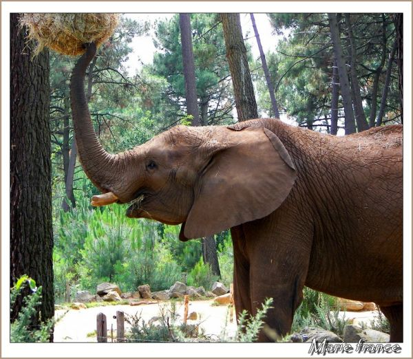 éléphant prenant du foin avec sa trompe