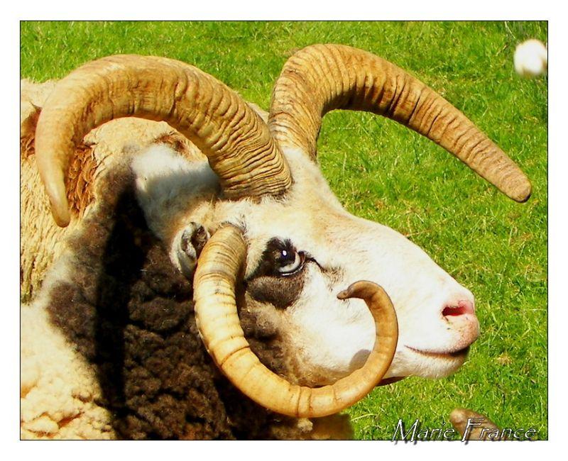 Tête de mouton à quatre cornes