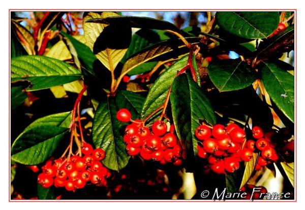 Fruit de cotoneaster