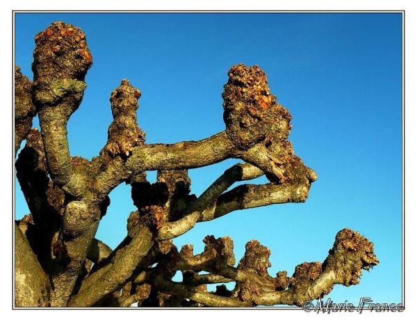 Haut d'un arbre  élagué