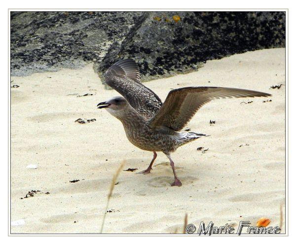 Jeune goéland sur le sable