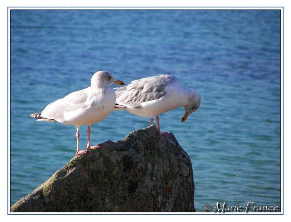 Deux goélands argentés sur un rocher