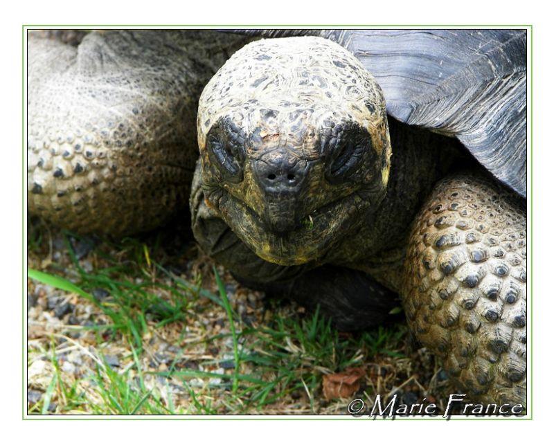 Tête de  tortue géante