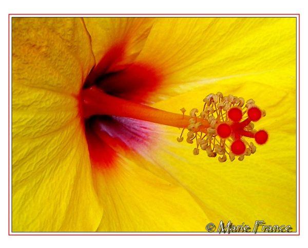 fleur d'hibiscus jaune en macro