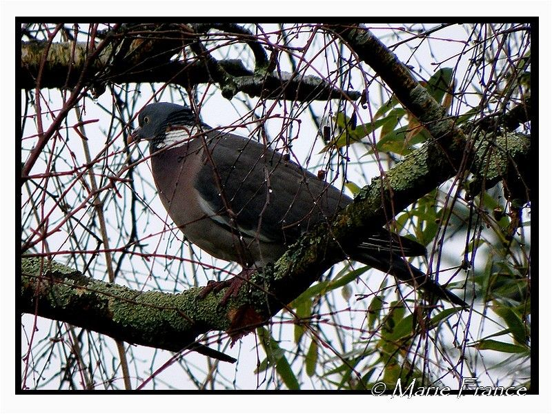 Pigeon ramier sur une branche