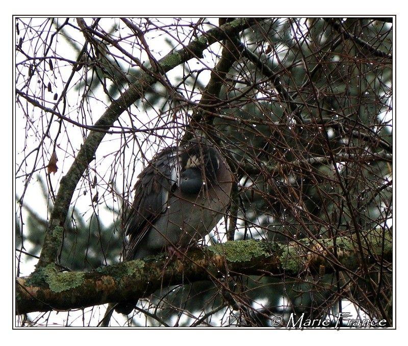 pigeon ramier dans les branches