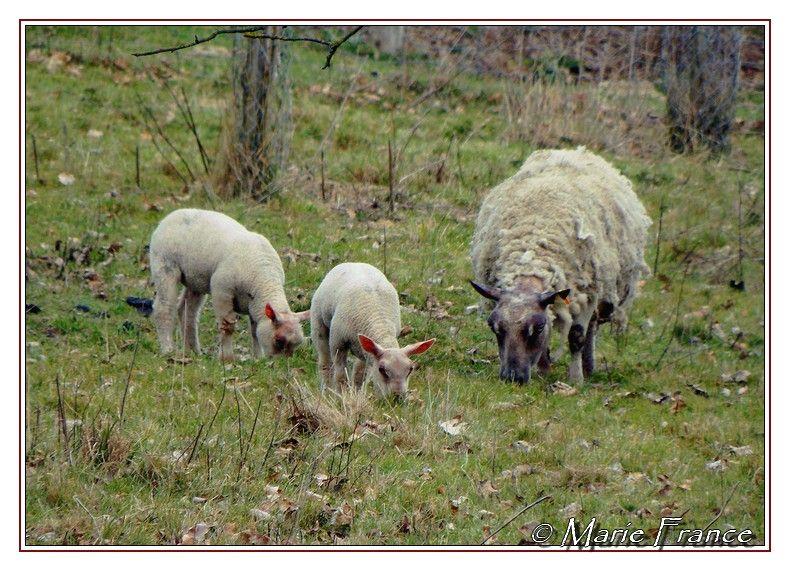 brebis avec deux agneaux